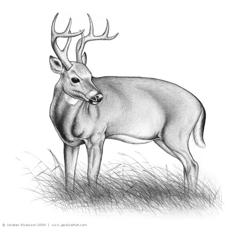 White Tailed Deer Drawings